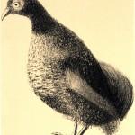 vogelstudie patrijs